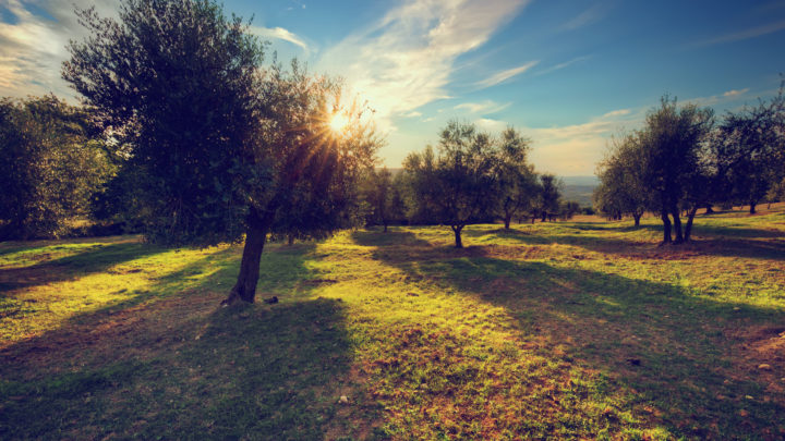 Olive trees in Tuscany, Italy at sunset. Sun shining through leaves. Vintage